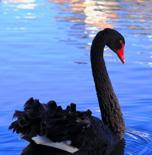A Black Swan Named COVID-19